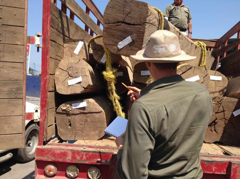 Conservation officer conducting an inventory of illegally cut timber in Mexico (Credit: Interpol).
